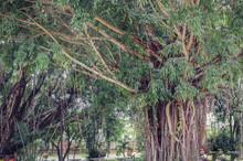 Banyan Big Trees Near High