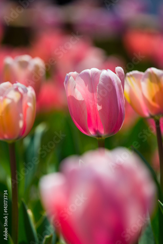 Poster Tulp Colorful Tulips in Spring