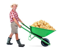 Cheerful Gardener Carrying A Pile Of Large Potato. A Man Pushing A Wheelbarrow With Big Heap Of Potato. Successful Vegetable Grower Farmer. Large Harvest Of Genetically Modified Foods.