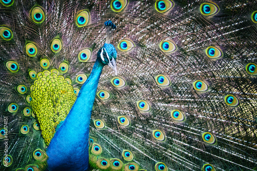 Foto op Plexiglas Pauw Image of a peacock showing its beautiful feathers. wild animals.
