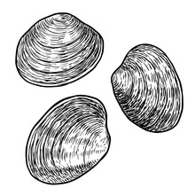 Edible Clam Illustration, Draw...