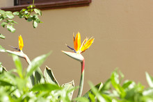 Royal Strelitzia Spring Flower...