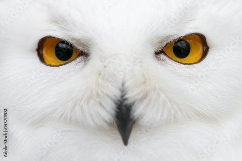 Evil eyes of the snow - Snowy owl (Bubo scandiacus) close-up portrait