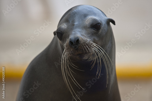 Fotografie, Obraz  Seal is ready for photo