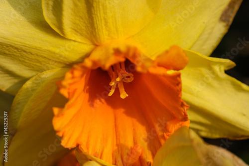 Narcissus Yellow daffodil