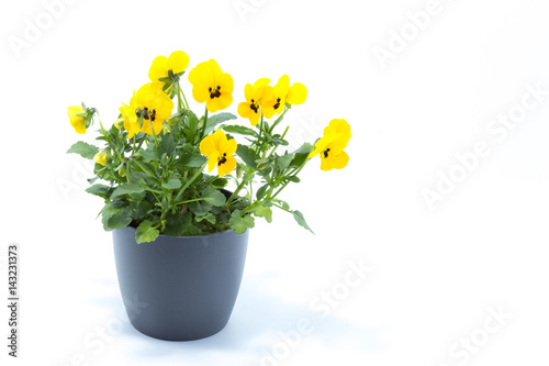 Papiers peints Pansies Horned Violet, Yellow Viola, Cornuta planted in a grey pot and isolated in white studio background