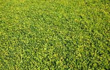 Lawn Full Of Ornamental Perenn...