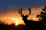 Fototapeta Sunset - Mule Deer Sunset