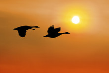Canadian Geese Flying Against ...