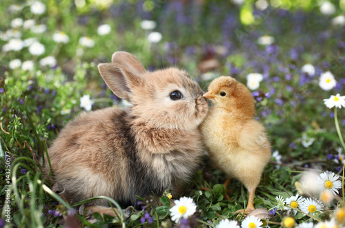 Best friends bunny rabbit and chick are kissing Fototapeta
