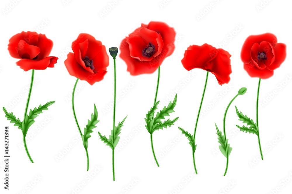 Fototapety, obrazy: Red Poppy flower