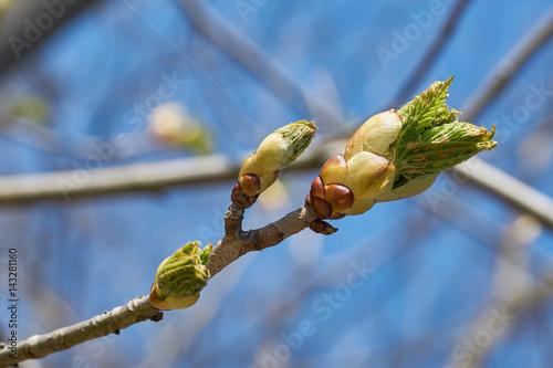 Knospen an einem Kastanienbaum im Frühling