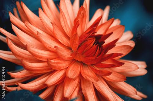 Poster de jardin Dahlia Dahlia cactus flower. Orange flower on dark blue background. Beautiful contrast photo.