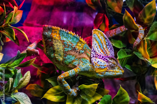 Spoed Foto op Canvas Kameleon Exhibition of terrarium animals in Uzhhorod