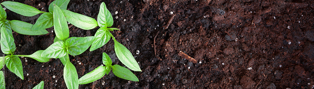 Fototapety, obrazy: Young green seedlings plants growing in compost trays the view from the top, border design panoramic