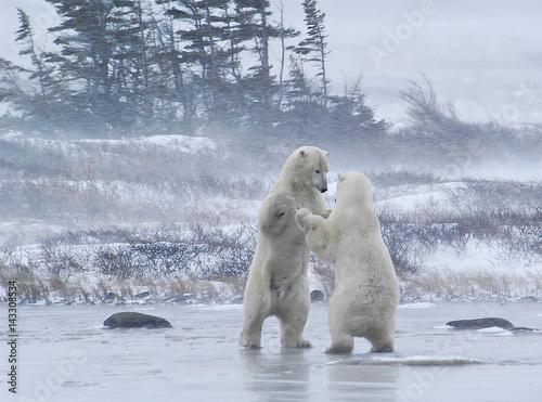 Recess Fitting Polar bear Sparring Polar Bears, Churchill, Manitoba, Canada