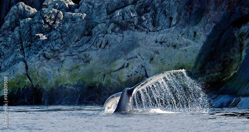 Fotografía Humpback Whale and Gull, Quirpon Island, Newfoundland, Canada