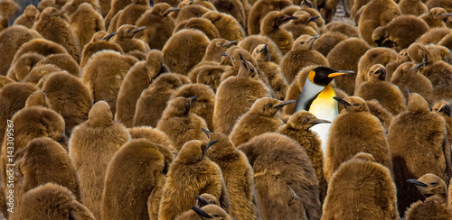 Fotobehang Pinguin Alone in a Crowd, King Penguin chicks and adult, South Georgia