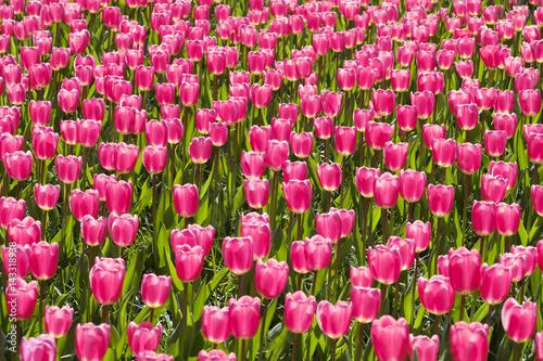 Foto op Canvas Azalea field of pink tulips