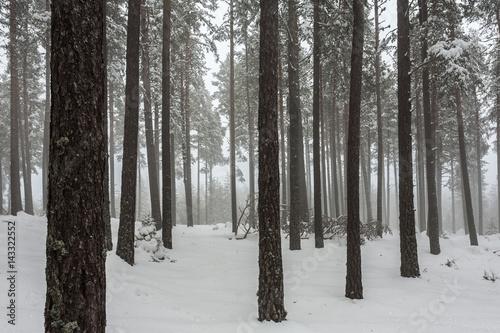 Tuinposter Berkbosje Pine trees at winter time