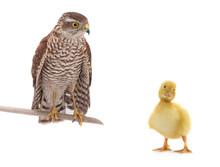 Falcon And Chicken Duck