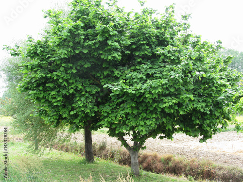 Hazel tree with green leaves in spring . Tuscany, Italy