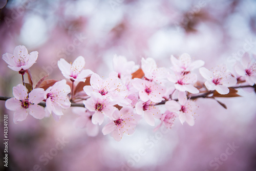 Fotografie, Obraz  Cherry blossom in the park