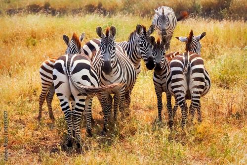 Group of zebras in african savannah. National park Serengeti. Tanzania.