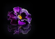 Pansy Flowers Isolated On Black