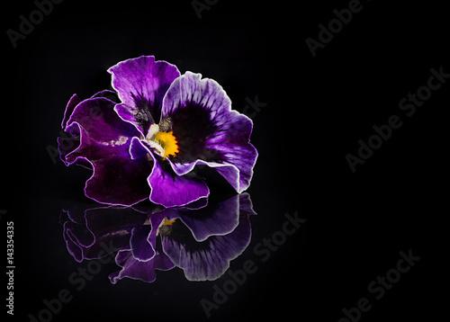 Montage in der Fensternische Stiefmutterchen Pansy flowers isolated on black