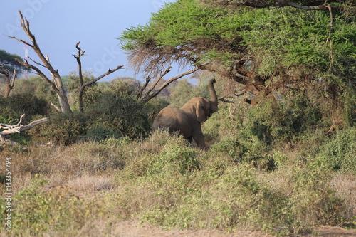 Photo  Wild Elephant Eating