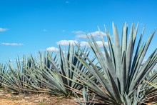 Blue Agave And Blue Sky