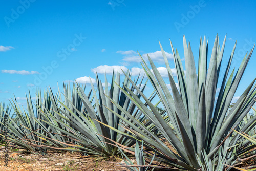 Blue Agave and Blue sky Wallpaper Mural