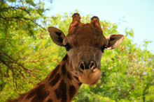 Giraffe Close-up. Photo Taken At The Lion Park, Johannesburg, South Africa