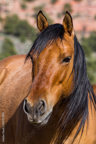 Photo  Head shot of brown wild horse with black hair