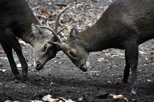 Two Whitetail Deer Bucks Challenge Each Other During The Rut.