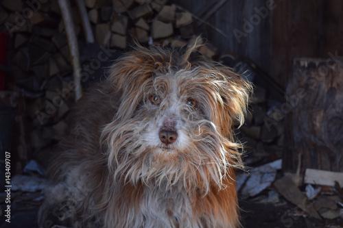 Foto  Alter kleiner shaggy Bastardhund mit roter Zunge und brauner Wolle