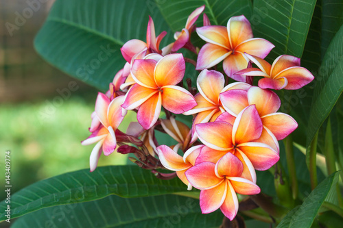 Spoed Foto op Canvas Frangipani Plumeria flowers are beautiful in nature.