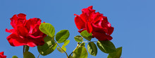 Two Red Roses On Sunny Sky.