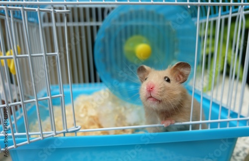 Fotografie, Obraz  Close-up of a cute hamster in blue cage