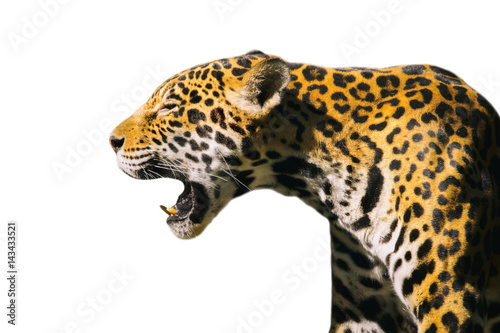 Image of a jaguar ( panthera onca ) isolated on white backgrond. Poster Mural XXL