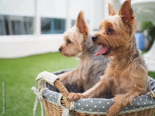 Small Cute Funny Yorkshire Terrier Puppy Dog In Rattan Basket On