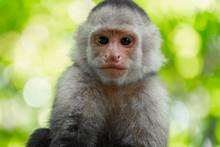 White Headed Capuchin Monkey (...