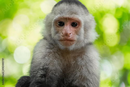Photo  White headed capuchin monkey (Cebus capucinus) in a wild with natural background