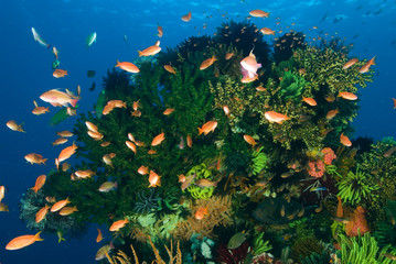 Fototapeta na wymiar Reef scenic with anthias and damselfishes, Rincha Island, Komodo National Park, Indonesia.