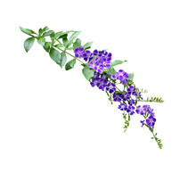 Duranta Erecta Flower