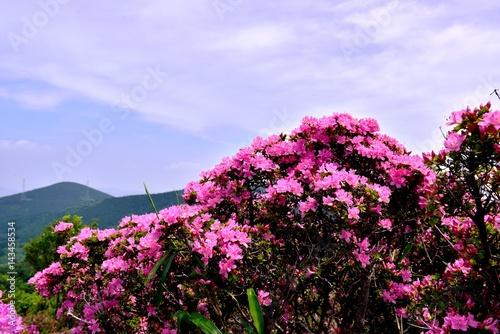 Poster Fleur 経塚山のミヤマキリシマ