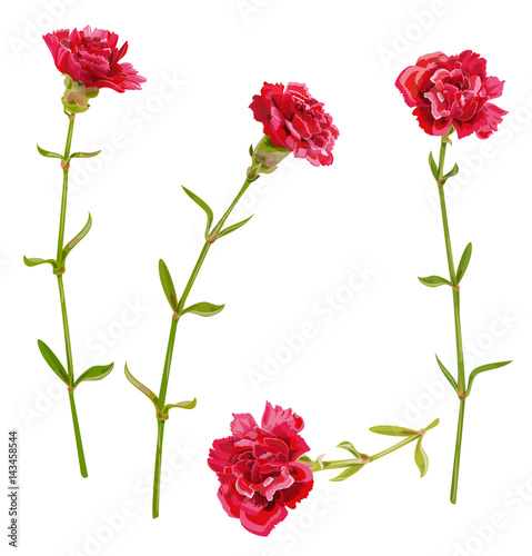 2178dc046a3c5 Set of red carnation schabaud flower, green stem, leaves on white  background, collection for Mother's Day, victory day, digital draw, vintage  illustration, ...