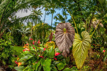 FototapetaAnthurium flowers and tropical plants in the Hawaiian rainforest with blue sky