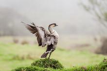 Hawaiian Goose, Nene, Flapping...